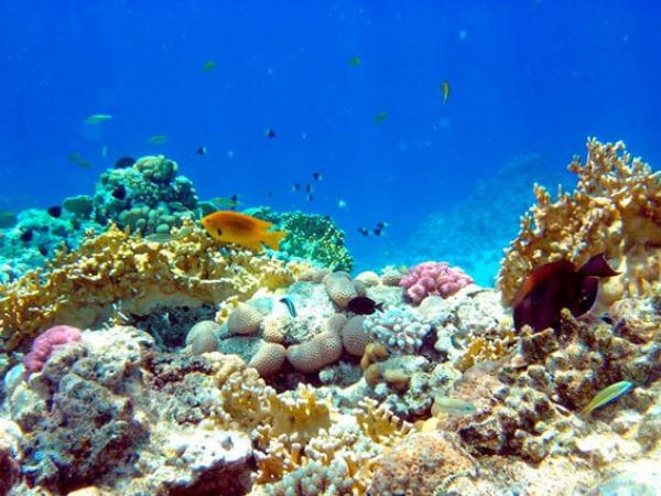Un coral de una zona montañosa submarina del Parque Nacional Coiba, en Panamá. Crédito:  Instituto Smithsonian de Investigaciones Tropicales