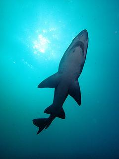 Un tiburón toro en Shoal Bay, Nueva Gales del Sur, Australia. Crédito: Klaus Stiefel/cc by 2.0