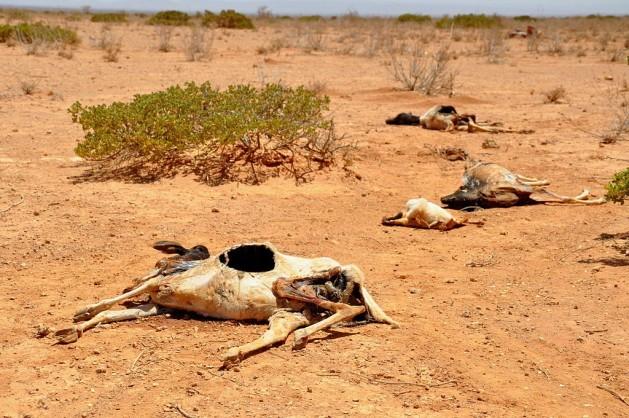 Cadáveres de ovejas y cabras desperdigados en un paisaje desértico tras la gran sequía que asoló a Somalilandía en 2011, una de las consecuencias del cambio climático que, según los especialistas, los países africanos deben atender, sin depender de la asistencia internacional. Crédito: Oxfam East Africa/CC by 2.0
