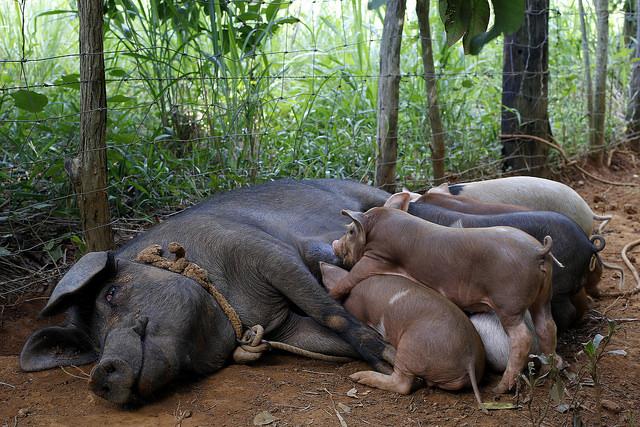 La cría de cerdos, la carne más consumida en Cuba, es parte de la actividad de la finca ecológica de La Carmelina, de la familia Pi, de siete hectáreas, en el municipio de La Palma, en las montañas de la occidental provincia de Pinar del Río. Crédito: Jorge Luis Baños/IPS