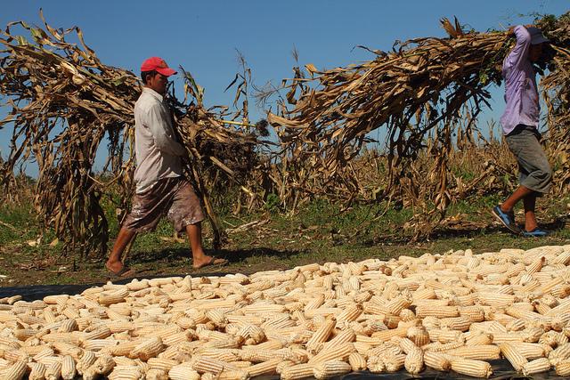 """Dos campesinos transportan las hojas secas de maíz, después de la """"tapisca"""",  como se llama en El Salvador a la corta de las mazorcas cuando la planta ya está seca y los granos duros, en una parcela perteneciente a la Asociación Mangle,  una de las cooperativas que producen semillas criollas del grano. Crédito: Edgardo Ayala/IPS"""