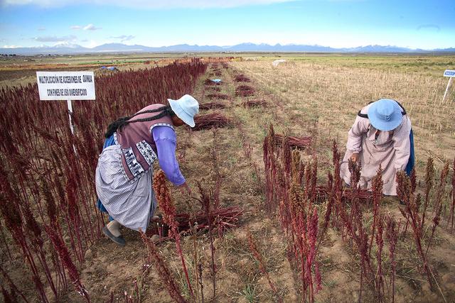 Campesinas quechuas siembran semillas de quinoa en una región andina de Perú. El uso comercial de la riqueza genética en América Latina ha generado un rechazo extendido entre organizaciones de la sociedad civil y pueblos indígenas. Crédito: Cortesía de Biodiversity International