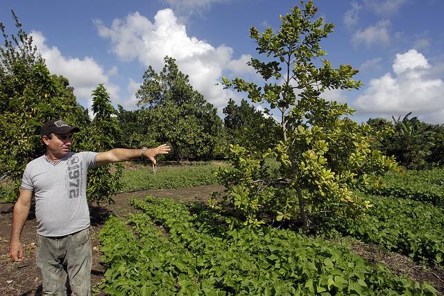 Eugenio Pérez muestra diversas variedades que crecen en el vivero experimental de su finca en el municipio rural de Jesús Menéndez, en el este de Cuba, donde sus posturas frutales y sus plántulas gozan de creciente fama. Crédito: Jorge Luis Baños/IPS