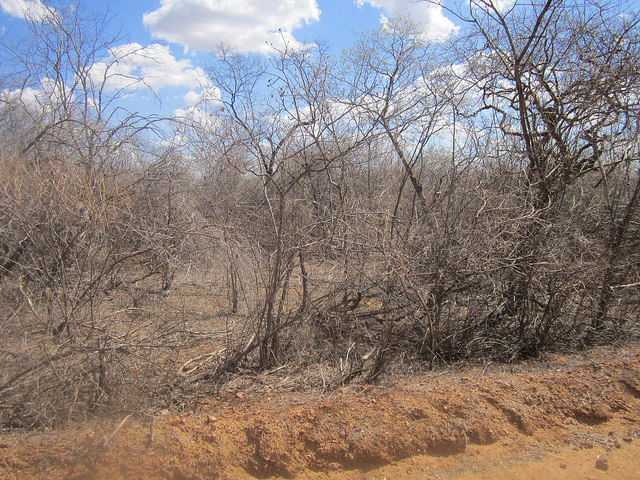 La vegetación seca, aparentemente muerta de la caatinga, un exclusivo bioma de la región del Semiárido de Brasil.  Pero son en general plantas de gran resiliencia, que reverdecen poco después de cualquier llovizna. Crédito: Mario Osava/IPS