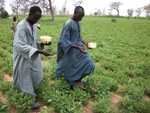 Agricultores aplican Aflasafe en cultivos de maní. Crédito: Cortesía de Aflasafe.com