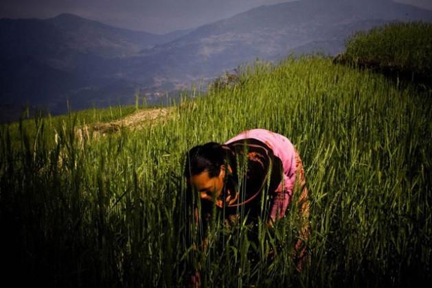 Una granjera trabaja en un campo de trigo en Nepal. Crédito Saliendra Kharel/FAO