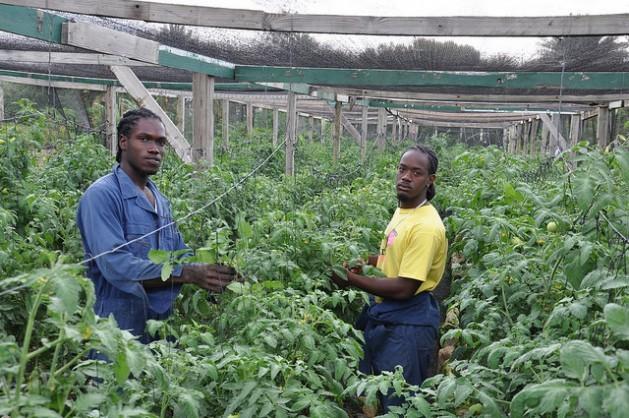 Oraine Halstead (izquierda) y Rhys Actie examinan tomates en un invernadero de la granja Colesome, en Antigua. Crédito: Desmond Brown / IPS