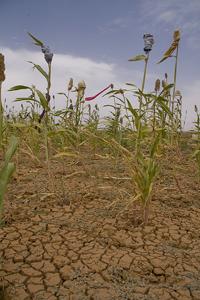 Las sequías recurrentes destruyeron la mayoría de las cosechas en la zona del Sahel. Crédito: Kristin Palitza / IPS
