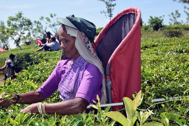 Una recolectora de té en la plantación Bearwell de Sri Lanka, que aplica una gestión sostenible de la tierra a lo largo de su cadena de suministro. Crédito: Stella Paul / IPS