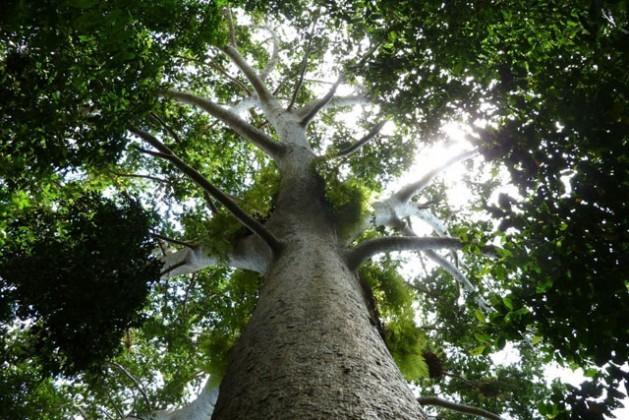 Los bosques desempeñan un papel fundamental en las posibilidades que tienen muchos países de mitigar el cambio climático. Crédito: Rudolf Hahn/FAO.