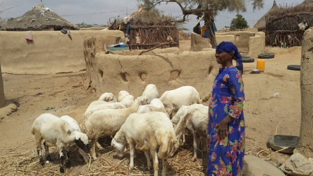 Una mujer en Yemen cuida de sus cabras. La producción ganadera cayó en ese país más de 35 por ciento en 2016, respecto de antes del conflicto. Crédito: FAO.