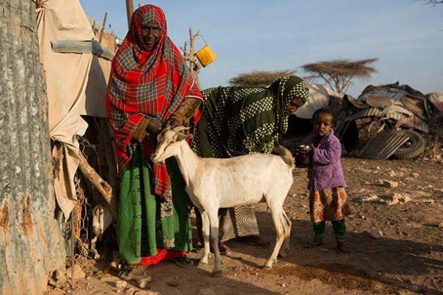 La campaña de prevención de la hambruna de la FAO en Somalia ofrece tratamiento veterinario a 12 millones animales contra varias enfermedades. Crédito: FAO.