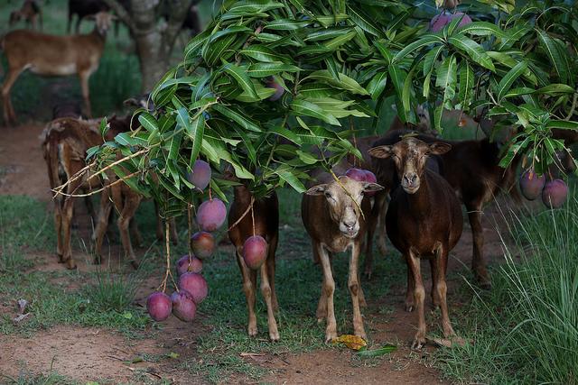 En la finca Tierra Brava, dedicada al cultivo de frutas, un alimento caro y escaso en Cuba, también se crían ovejas, de las que se producen 2,7 toneladas de carne al año. Crédito: Jorge Luis Baños/IPS