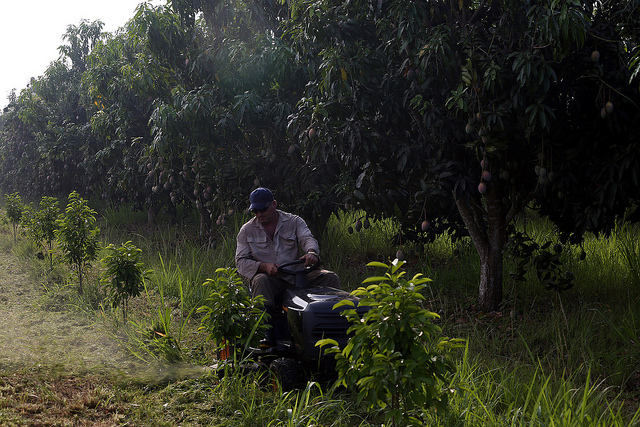 Un trabajador opera una podadora de bajo impacto, utilizada en la agricultura de conservación para desbrozar el suelo, en la finca Tierra Brava, en Los Palacios, un municipio en el extremo occidental de Cuba. Crédito: Jorge Luis Baños/IPS