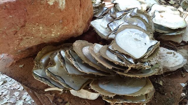 Madreperlas en la bahía de Cygnet. Australia es el único país del mundo que usa reservas de ostras silvestres para garantizar la sostenibilidad de la industria perlera, mediante un sistema de cuotas. Crédito: Neena Bhandari/IPS.