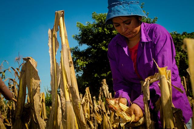 Domitila Reyes arranca mazorcas de maíz en una plantación en Ciudad Romero, un asentamiento rural del municipio de Jiquilisco, en el este de El Salvador. La producción de granos básicos como maíz y frijol se ven afectadas en amplias áreas del país, debido al impacto que produce el cambio climático en los cultivos. Crédito: Edgardo Ayala/IPS
