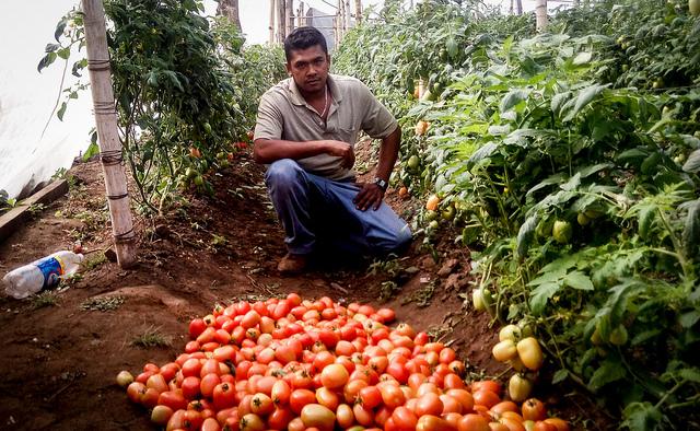 Dennis Alejo, otro salvadoreño deportado cuando intentaba cruzar al territorio estadounidense, ha encontrado en la producción de tomates la mejor forma de abrirse un camino y generar un puñado de empleos en su natal Berlín, en el departamento de Usulután, en el este de El Salvador. Crédito: Edgardo Ayala/IPS