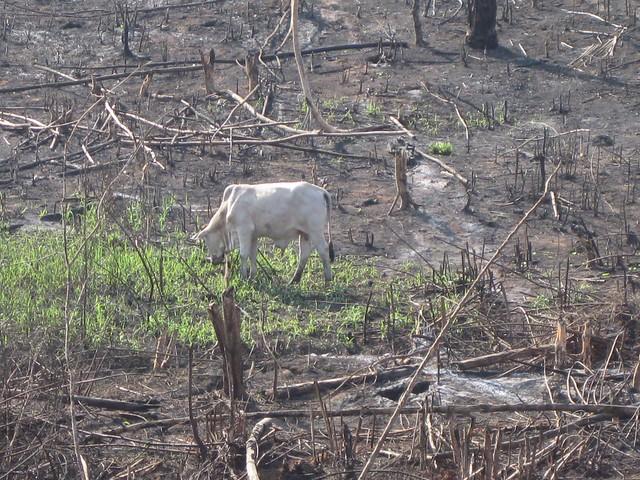 Incendio intencional en el estado de Acre, en el noroeste de Brasil. La mayoría de los incendios forestales amazónicos es para dar espacio a la ganadería extensiva, de bajísima productividad. Gran parte de la deforestación amazónica tiene objetivos patrimoniales, de apropiación de tierras públicas, no de producción. Ante la amenaza de sanciones comerciales por la deforestación, los grandes agricultores de exportación tratan de apartarse de esa destrucción ambiental y presionaron el gobierno de Jair Bolsonaro por medidas contra los incendios y abandono del discurso antiambientalista. Crédito: Mario Osava/IPS