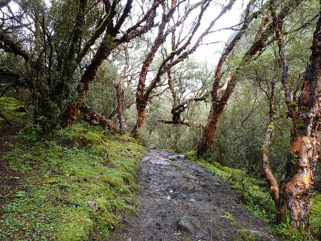 La queñua, uno de los árboles más resistentes al frío del mundo, es nativo de las altiplanicies de los Andes, y con valor ancestral para los quechuas. Es un gran regulador del clima, controla la erosión y almacena gran cantidad de agua, que filtra hacia la tierra y de ahí nutre a los manantiales de los altiplanos andinos. Foto: Esteban Vera/Flickr