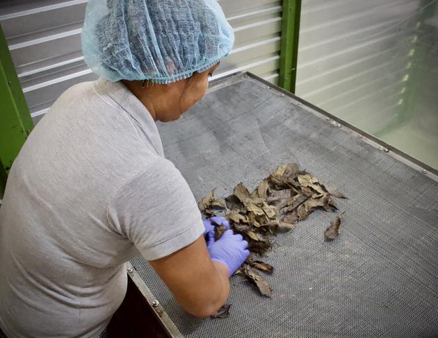 Leonor Andy, gerente general de Ally Guayusa, muestra cómo es el proceso de secado de hojas de guayusa. Foto: Matthew Wilburn King/Mongabay