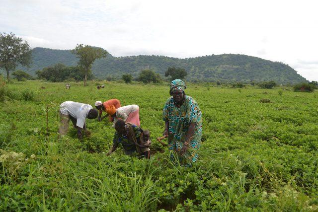 Margaret Itto (D) en su plantación de maní (cacahuete) en Torit, Sudán del Sur. Sufre graves pérdidas posteriores a la cosecha, especialmente cuando está coincide con las lluvias, porque las carreteras se vuelven intransitables y no puede llevar el producto a los mercados. Foto: Isaiah Esipisu / IPS