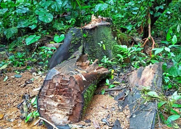 Signos de tala el Parque Nacional Cotacachi Cayapas. Foto: Cortesía.
