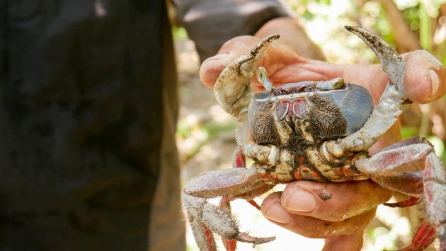 El cangrejo azul es una de las especies que está siendo aprovechado por los habitantes de la región del Estero de Jaltepeque, al sur de El Salvador, por medio de viveros, como parte de un proyecto de sostenibilidad ambiental en la zona, financiado por el Programa de Pequeñas Donaciones, del Fondo para el Medio Ambiente Mundial. Foto: Edgardo Ayala /IPS