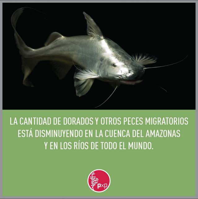 La desaparición mundial de los peces migratorios