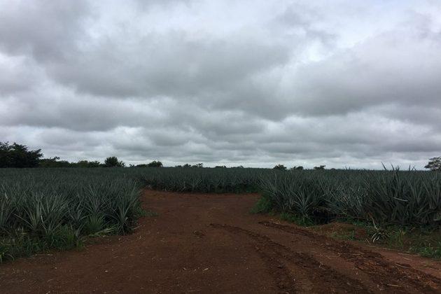 Caminos para el paso de maquinaria en una plantación de monocultivo de piña cerca del Refugio Caño Negro en 2017. Foto: Lenin Corrales / Mongobay