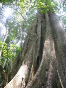 La Reserva Forestal de Mabira, en Uganda, está en riesgo de deforestación. En 2011 el gobierno anunció que destinaría parte de la misma a plantaciones de azúcar. Crédito: Isaiah Esipisu/IPS.