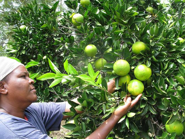 Judith Mwikali Musau introdujo con éxito los injertos en sus cultivos. Según el FIDA, se requiere una nueva revolución agrícola. Crédito: Isaiah Esipisu/IPS