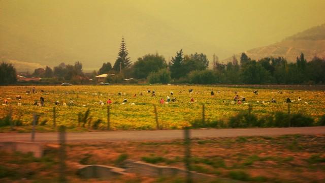 Campesinas inclinadas sobre la tierra se confunden con el paisaje en la localidad de chilena de Melpilla. Crédito: Eric León/ Ministerio de Agricultura.
