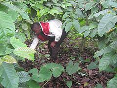 El hijo de Issah Mounde Nsangou lo ayuda a desmalezar su plantación de café en Kuoptomo en la región Oeste de Camerún. Este país busca reflotar su otrora próspero sector cafetero. Crédito: Ngala Killian Chimtom/IPS