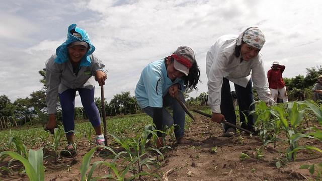 Tres integrantes de la cooperativa La Maroma, en la zona del Bajo Lempa, en El Salvador, cuidan los brotes de semillas mejoradas de maíz. Crédito: Edgardo Ayala/IPS