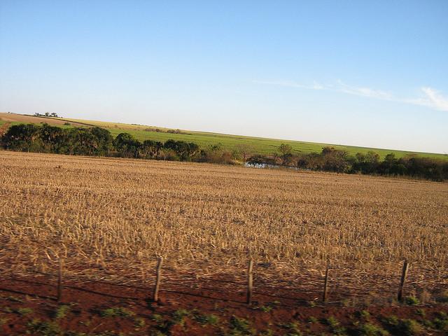 Los extensos cañaverales brasileños del estado de São Paulo también sufrieron la sequía, lo que acortó en dos meses la cosecha y agravó la crisis productiva del sector del azúcar y el etanol. Crédito: Mario Osava/IPS