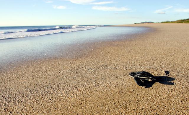 Tortugas baula en su histórico santuario de Playa Grande, en Costa Rica. En los últimos años, la población bajó y llegan menos de un centenar de unidades por arribada. Crédito: Kip Evans/Fundación MarViva