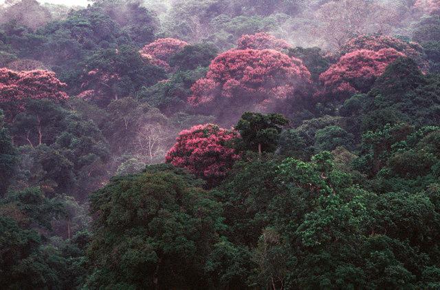 El manejo comunitario de los indígenas de sus bosques es aún un tema pendiente en Panamá. Zona boscosa tropical de la provincia de Bocas del Toro, en el norte del país. Crédito: Instituto Smithsonian de Investigaciones Tropicales