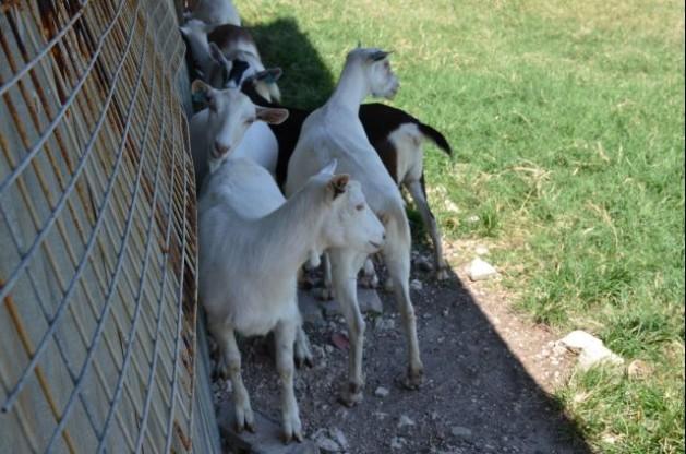 Cabras en el Caribe al amparo de la sombra. El estrés por calor eleva las tasas de mortalidad del ganado en la región. Crédito: Cedric Lazarus/FAO