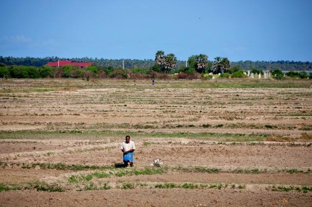Un hombre está parado en medio de un arrozal abrasado en el norteño distrito de Kilinochchi, en Sri Lanka. Se prevé que la cosecha de arroz de este país sufra una pérdida histórica de 17 por ciento, respecto de las cuatro millones de toneladas registradas en 2013. Crédito: Amantha Perera/IPS.