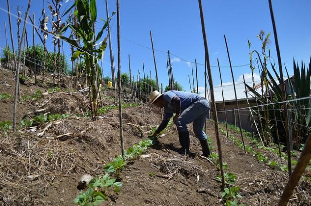 El agricultor costarricense José Alberto Chacón cultiva frijol en terrazas, para controlar las corrientes de agua que erosionan el suelo de su pequeña finca en Pacayas, en las laderas del volcán de Irazú. Es una fórmula para adaptarse al cambio climático. Crédito: Diego Arguedas Ortiz/IPS