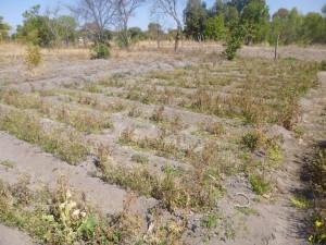 La lucha de sucesión en el ZANU-PF relegó la agricultura, al igual que otros temas de desarrollo, a un plano secundario. Crédito: Jeffrey Moyo/IPS