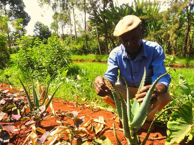 Un agricultor muestra sus plantas de aloe vera, que las familias campesinas del centro de Kenia aprecian por su valor medicinal. Crédito: Miriam Gathigah/IPS