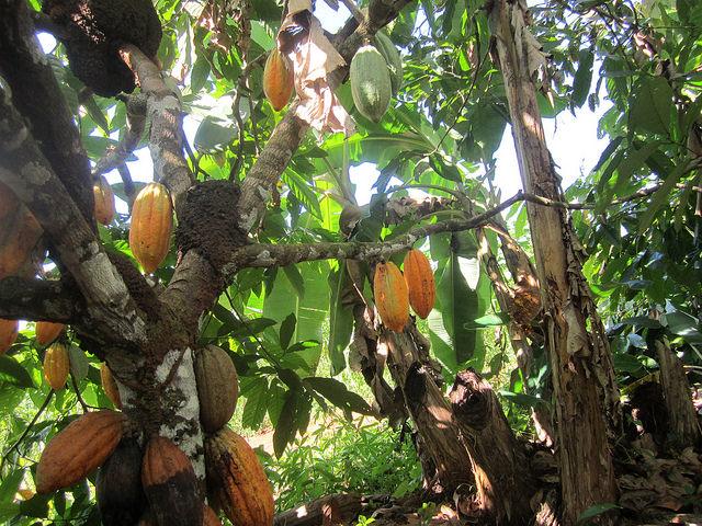 Un árbol de cacao cargado frutos, a la sombra de algunas plantas de banano, en la finca de la familia Wronski, en el municipio de Medicilândia, en el estado de Pará, en la Amazonia brasileña, donde los productores orgánicos ayudan a la reforestación de la zona. Crédito: Mario Osava /IPS
