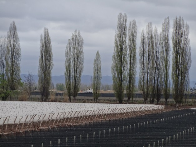 Viñedos de la Bodega Dominio del Plata, en Luján de Cuyo, en la provincia de Mendoza, en Argentina. Es una de las bodegas participantes del Programa Producción más Limpia, que impulsa una reconversión sustentable de todos los procesos de los viticultores. Crédito. Fabiana Frayssinet/IPS