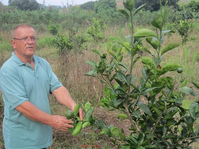 El líder campesino Idevan Correa examina uno de sus nuevos naranjos. Él decidió volver a plantar un naranjal, gracias a la ley brasileña que obliga a que al menos 30 por ciento de los alimentos consumidos en las escuelas procedan de la  agricultura familiar local. El municipio de Itaboraí fue famoso por sus naranjas hasta que una plaga redujo su producción. Crédito: Mario Osava/ IPS