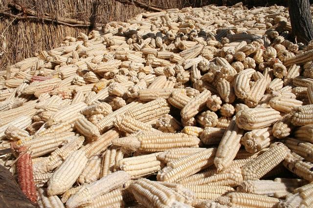 El maíz, un producto básico de África austral, es vulnerable a las aflatoxinas si no se seca y almacena de forma adecuada. Crédito: Busani Bafana / IPS
