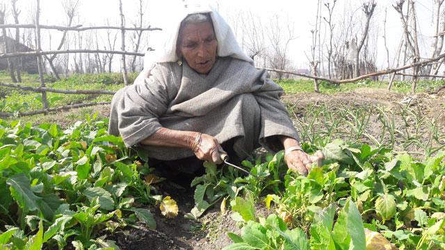 La muerte de su esposo llevó a Daulat Begum a cultivar verduras en su tierra y a transformar el reto en oportunidad. Crédito: Aliya Bashir/IPS
