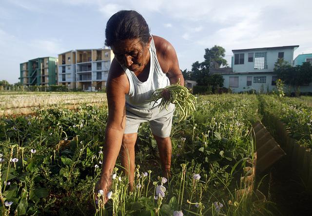 Una mujer recolecta habichuelas orgánicas en el organopónico La Sazón, en el barrio de Casino Deportivo de La Habana, que forma parte del sistema de agricultura urbana de Cuba. Crédito: Jorge Luis Baños/IPS
