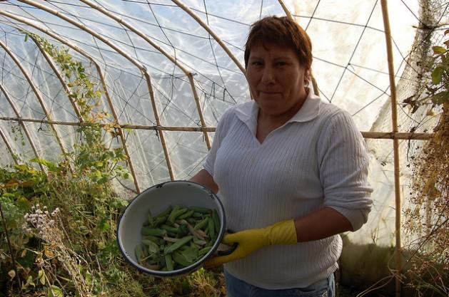 Blanca Molina muestra unos guisantes orgánicos recién cosechados en uno de los cuatro invernaderos que construyó con sus manos en su pequeña finca familiar en Villa Simpson, en la región de Aysén, en el sur patagónico de Chile. Crédito: Marianela Jarroud /IPS