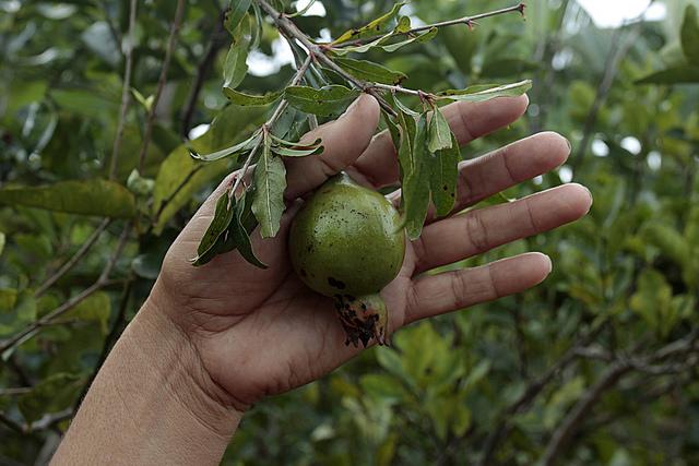 Una granada de las que crecen en uno de los árboles frutales que cultiva Aluska Labrada en el huerto que tiene en las inmediaciones de su vivienda para el autoconsumo familiar, en la localidad de Ciénaga de Zapata, en el occidente de Cuba. Crédito: jorge Luis Baños/IPS